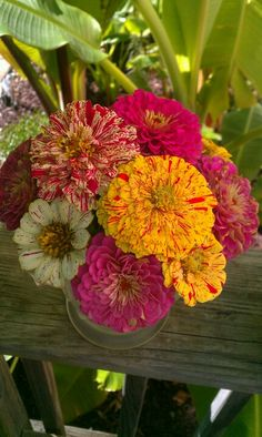 Zinnias-love the verigated color in these Summer Flowers, Pretty Flowers, Fresh Flowers, Wild Flowers, Zinnia Garden, Garden Plants, Exotic Flowers, Amazing Flowers, Flower Farm