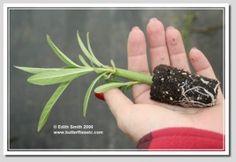 Milkweed Propagation via Stem Cuttings