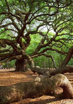 This is the Angel Oak Tree,  in Charlston, an enormous live ...   Tre…