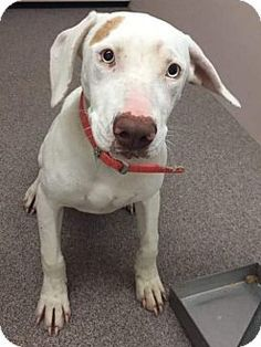 Youngsville, NC - Great Dane/Hound (Unknown Type) Mix. Meet Jewel, a dog for adoption. http://www.adoptapet.com/pet/14352118-youngsville-north-carolina-great-dane-mix