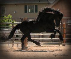 Ster Friesian stallion standing at stud.