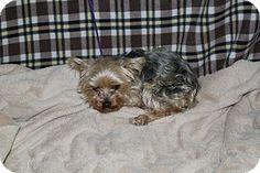 Corona, CA - Yorkie, Yorkshire Terrier. Meet Kennel 38, a dog for adoption. http://www.adoptapet.com/pet/15266177-corona-california-yorkie-yorkshire-terrier