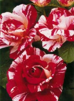 Scentimental Just bought one of these rose bushes for my yard today!