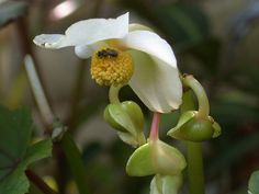 Begonia pedatifida
