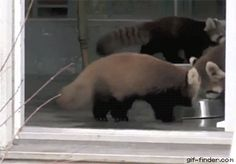Red Panda gets scared by zookeeper | Gif Finder – Find and Share funny animated gifs