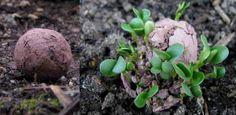 Cómo hacer bombas de semillas (Nendo dango) ecoagricultor.com
