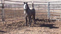 #grey #mustang #stallion