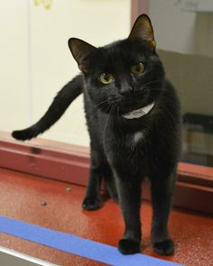 Meet Boo a Petfinder adoptable Domestic Short Hair-black Cat | Springfield, IL | Boo is a very sweet kitty - very lovable - lap cat!