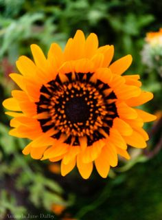 Colour Photograph of Yellow and Black Sunflower by AmandaJaneDalby, $25.00