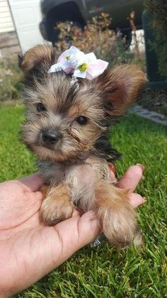 our site for more information on Yorkshire Terriers. It is an exceptional spot for more information.See our site for more information on Yorkshire Terriers. It is an exceptional spot for more information. Yorkshire Terrier Haircut, Yorkshire Terrier Puppies, Yorkies, Shih Tzu Hund, Cute Puppies, Cute Dogs, Yorshire Terrier, Top Dog Breeds, Yorkie Puppy