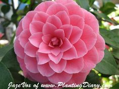 Getting a camellia tattoo, representation of my forever loving and beautiful grandparents <3