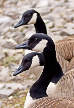 Canada Geese (pinned by redwoodclassics.net)