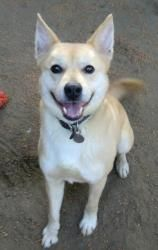 Aniken is an adoptable Husky Dog in Porter Ranch, CA. DOB: September 2008 || BREED/COLORING: Husky/Shiba Inu Mix; blonde with white || SIZE: Ani weighs about 38bs and is full grown || HISTORY: Ani was...