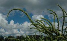 Aux Etats-Unis, depuis 1994, de nombreux états ont fortement développé la culture transgénique de coton, maïs et soja. Hors les états qui ont le plus fortement utilisé ces cultures OGM font face depuis plusieurs mois à une plante mutante redoutable : l'amarante de Palmer (Amaranthus Palmeri). Cette plante a développé une improbable - mais bien réelle - resistance au Roundup, le désherbant total, produit phare de Monsanto. L'amarante de Palmer peut atteindre deux mètres quarante et pousser…