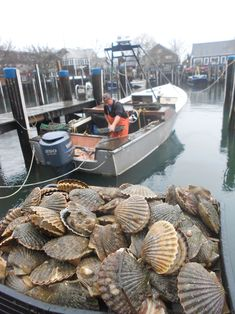 Look at these gorgeous Nantucket Bay scallops. YUM! Recipe in blog post: Scallop and Ham, with Crisp Parma and Arugula