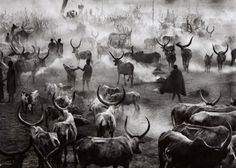 #Fotografía Sebastião Salgado @Qomomolo . Southern Sudan [Dinka cattle camp of Amak at the end of the day when the herd is back in the camp for the night. This is the most active time in the camp], 2006
