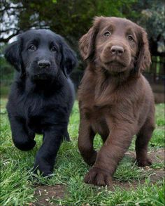 Soooo adorable!  Black and Chocolate Lab Puppies  [From 1,000,000 Pictures on Facebook.] #dogs #labs #puppies