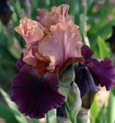TB Iris 'Palissandro' (Bianco, 2001)