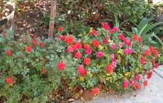 Jardineria ,plantas y su cuidado : Rosas miniatura