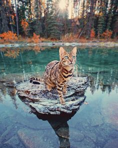 Young Bengal Cat Sitting on a Good Size Rock in the Middle of a Pond. - - -A Young Bengal Cat Sitting on a Good Size Rock in the Middle of a Pond. Pretty Cats, Beautiful Cats, Animals Beautiful, Pretty Kitty, Animals And Pets, Funny Animals, Cute Animals, Warrior Cats, Cute Kittens