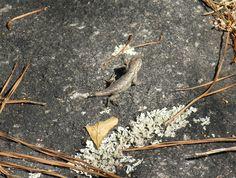 Female Eastern Fence Lizard - Photo by Alan Wiltsie