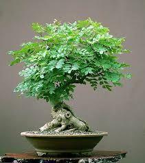 Image result for fraxinus excelsior bonsai #bonsai