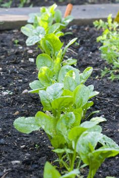 """Red Kitten or Emperor, although almost any type of spinach performs well in cool temperatures. """"I've seen spinach survive under snow well into winter. It's incredibly hardy,"""" says author Edward C. Smith."""