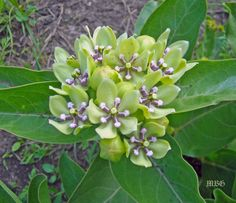 18+ Milkweed Ideas for Butterfly Gardens- The thick leaves of asclepias viridis are a tasty treat for spring time monarch caterpillars. The Kansas Native Plant Society recently named this milkweed their 2015 Wildflower of the Year!