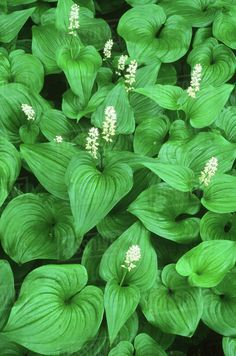 False Lily of the Valley (Maianthemum dilatatum), Vancouver Island, British Columbia, Canada. Growing Flowers, Planting Flowers, Dunn Lumber, Minnesota Wild, Plant Species, Vancouver Island, Lily Of The Valley, British Columbia, Royalty Free Images