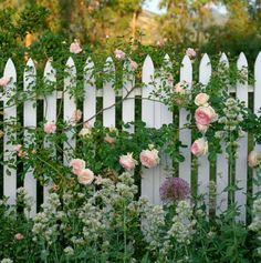 Garden Ideas, Landscaping ideas, Hedges ideas, Fence ideas, Plant combination ideas, Borders ideas, Perennial combinations, Rose Eden, Star of Persia, Allium Cristophii,Red Valerian, Centranthus Ruber, Rose Heritage, English Roses