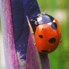 ladybug on iris bud Outdoor Girls, Animal Magic, Beneficial Insects, Raw Beauty, Lady Bugs, Flora And Fauna, Our Lady, Sacred Geometry, Middle Ages