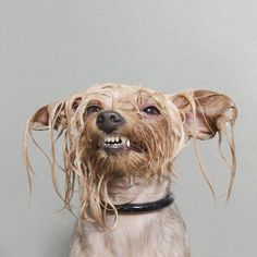 Wet Dog: Quirky Portraits of Dogs Captured Mid-Bath by Sophie Gamand  http://www.thisiscolossal.com/2014/05/wet-dogs-sophi-gamand/