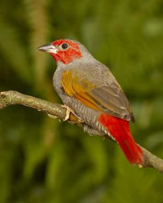 Yellow-winged pytilia (Pytilia hypogrammica), also known as the red-faced pytilia