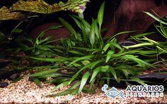 Planta de agua para aquário plantado Cryptocoryne Willisii.