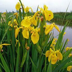 IRIS pseudacorus - Iris, farve: gul, lysforhold: sol/skygge, højde: 80 cm, blomstring: juni, velegnet til snit, trives i fugtig/lavt vand.