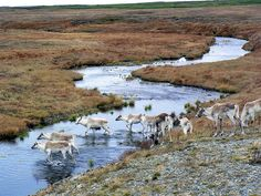 Heard of Caribou near Cape Race by Newfoundland and Labrador Tourism, via Flickr