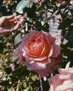 Your mindset matters. 🤍 Mindset, Rose, Flowers, Plants, Design, Attitude, Pink, Plant