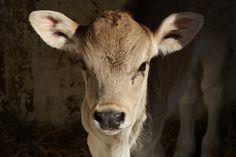 Lil dairy calf , to cute