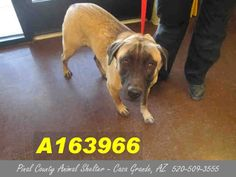 PRELIMINARY EUTHANASIA LIST for THURSDAY 1-15-15 at 6am  Pinal County Animal Shelter Animals NEED You!!!!  This DOG - ID#A163966 Status: STRAY WAIT UNPREDICTABLE Due Out Date: 01/09/2015 I am a female, tan German Shepherd Dog mix. My age is unknown. https://www.facebook.com/savepinalanimals/photos/a.358530097582604.1073741831.120830141352602/582264838542461/?type=1&theater