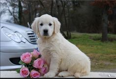 Shabby Chic Pink Roses and Mercedes Benz White English Cream Creme Golden Retriever Puppy.