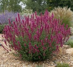 SONORAN SUNSET® hyssop (Agastache cana 'Sinning' makes a stunning specimen plant in mid summer. Here it's framed by other hyssops, russian sage, purple cone flower, ornamental grasses, sages and even yuccas. Give it plenty of room to grow so tha Xeriscape Plants, Xeriscaping, Drought Tolerant Plants, Garden Plants, Water Plants, Plant Design, Garden Design, Ornamental Grasses, Front Yard Landscaping