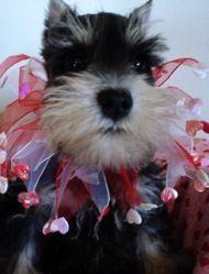 Dog Blog cute schnauzer