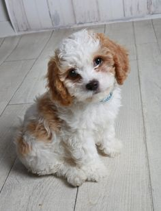 PUPPY Kodah the Cavachon - Images by dudools