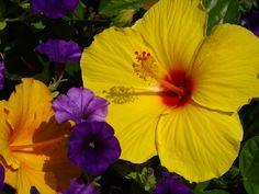 Hibiscus plus, photo by Joni