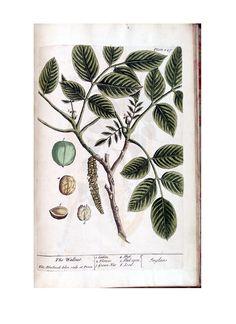 a-curious-herbal-illustration-of-juglans-the-wallnut-p247
