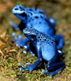 Evan tho poison dart frogs are poisenis save there lives so they will live perfectly
