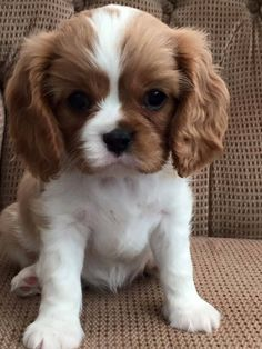 I love the uneven coloring. The post Beautiful Blenheim Cavalier King Charles Spaniel. I love the uneven coloring. Cute Little Puppies, Cute Little Animals, Cute Dogs And Puppies, Cute Funny Animals, Baby Dogs, Doggies, Puppies Stuff, Puppies Puppies, King Charles Puppy