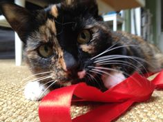 Cat vs Ribbon