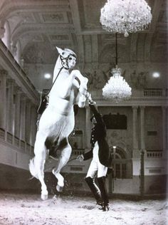 Colonel Podhajsky with Siglavy Brezovica in a courbette on the rein in 1955 Oberst Podhajsky mit Siglavy Brezovica in einer Courbette am Zügel im Jahr 1955 Horse Dance, Horse Art, All The Pretty Horses, Beautiful Horses, Spanish Riding School Vienna, Horse Spirit Animal, Lippizaner, Lipizzan, Unicorn Horse
