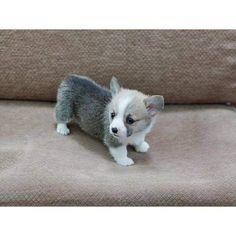 mini corgi puppies for sale | Cute Puppies